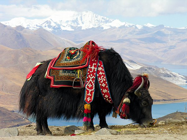 Tibetan yak_DCE