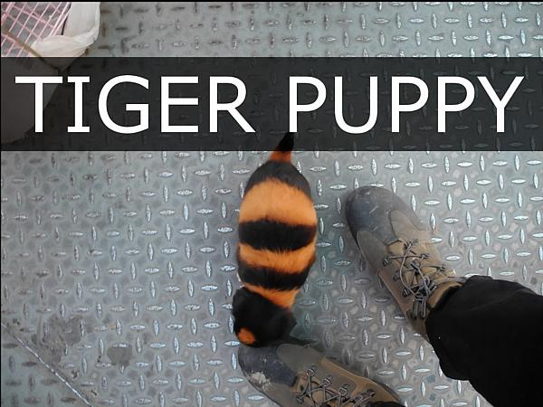 tiger-puppy_DCE