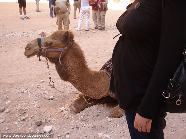 camel and chaya's pregnant belly at petra
