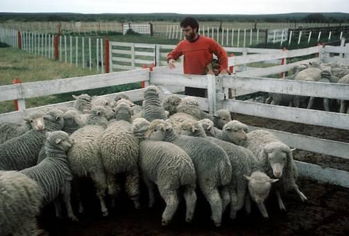 1489-sheep-farming-argentina