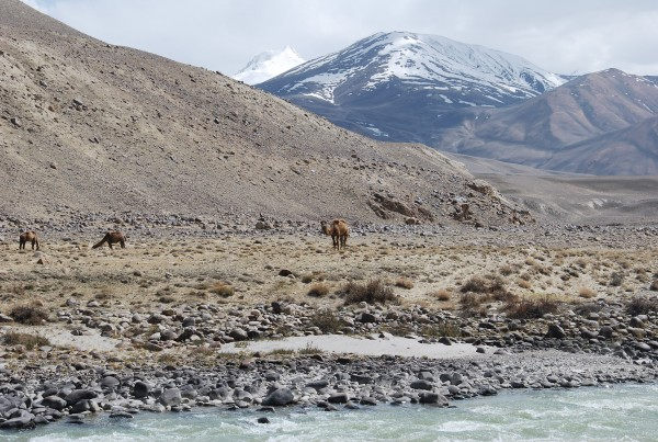 Camels on the Afghan side of the border