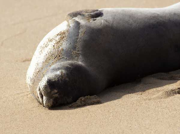 Hawaiian_monk_seal_DCE