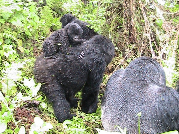 Gorillas and a baby