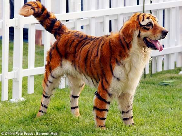 china-tiger-dog