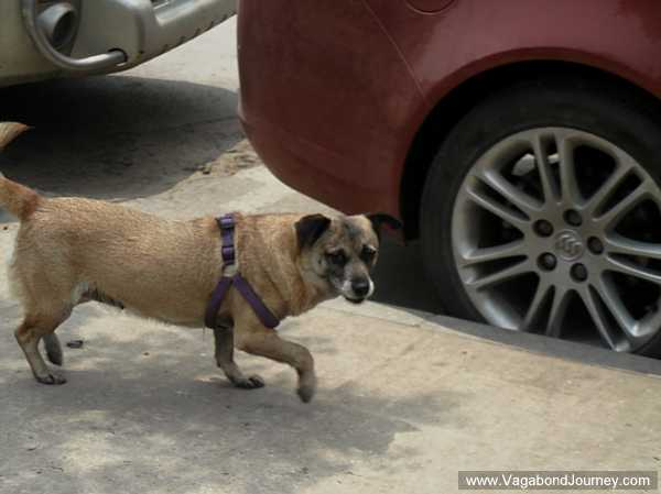 chinese-dog