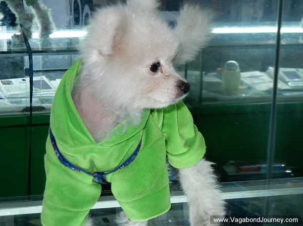 dog-with-clothes-china