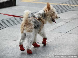 dog-with-shoes-china