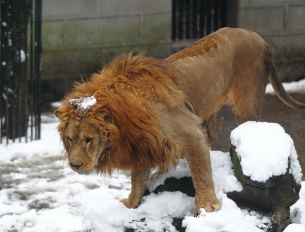 lion-being-hit-with-snowball