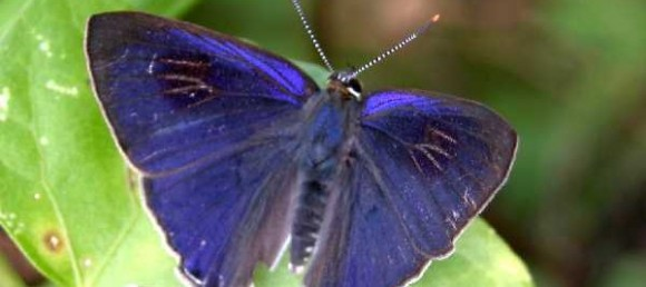 metallic blue butterfly