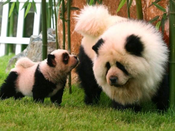 panda-dogs