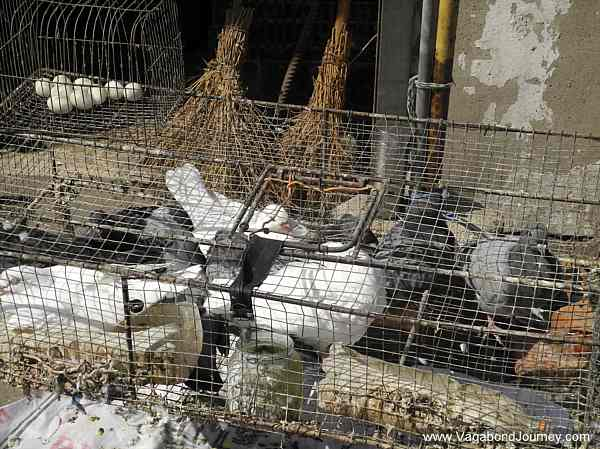 Pigeons, one of the types of birds that are carrying this new strand of bird flu