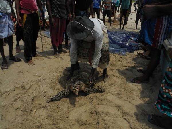 sea turtle on beach in Sri Lanka