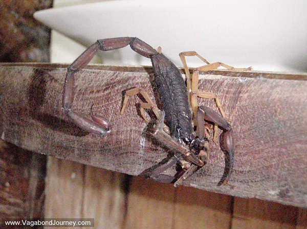photo of a scorpion eating a spider
