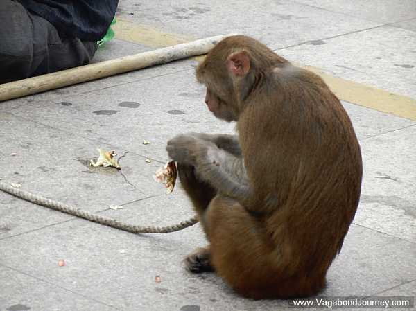 Street performing monkey