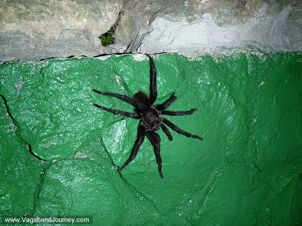 tarantula in Guatemala