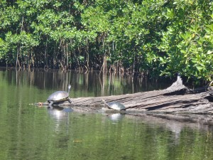 Turtles in Ventanilla lagoon